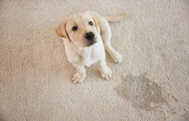 Pet Accidents